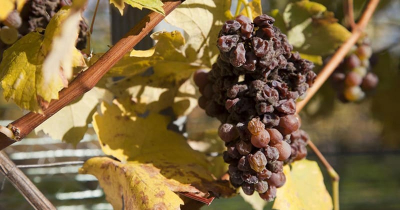 Tot rozijnen verschrompelde druiven voor Ruster Ausbruch