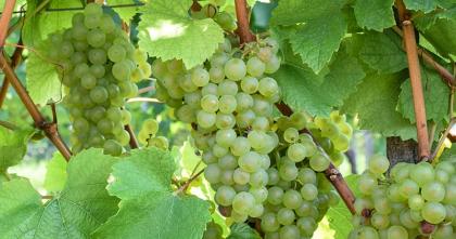 Morillon / Chardonnay